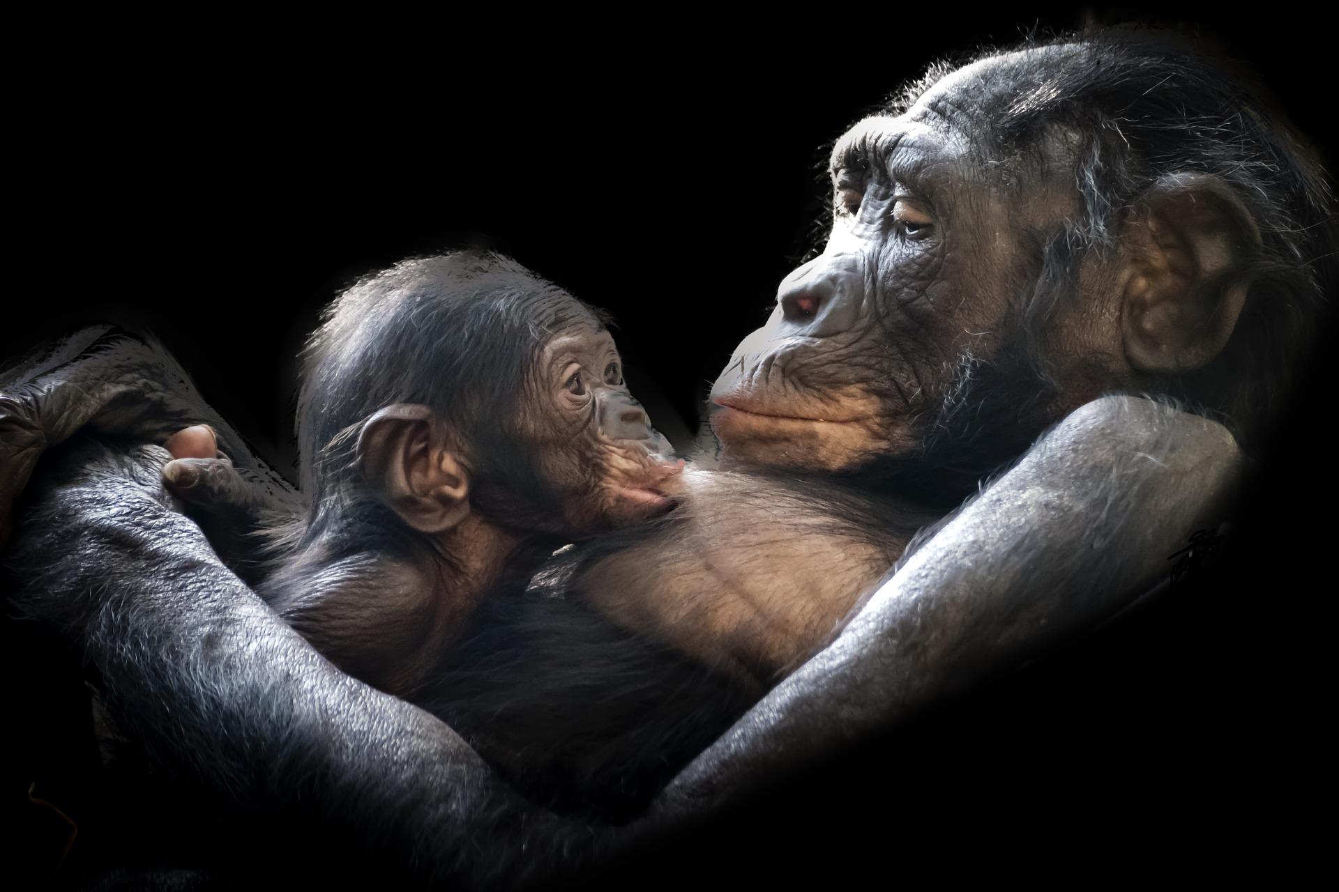 gorillas-1097143_1920